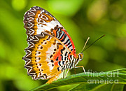 Millard H Sharp - Lacewing Butterfly