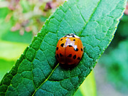 Elvira Ladocki - Lady Bug