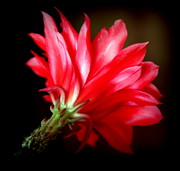 Cactus Flowers Posters - LADY in RED Poster by Karen Wiles