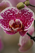 Close-up Pyrography - Lady Orchid by Valia Bradshaw