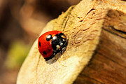 Ladybird Originals - Ladybird on branch by Arthus Allibert