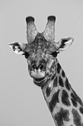 Laughing Posters - Laughing Giraffe Poster by Michele Burgess