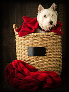 Westie Pup Framed Prints - Laundry Day Framed Print by Edward Fielding