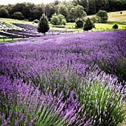 Landscapes Art - Lavender Farm Landscape by Christy Beckwith
