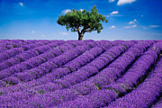 Tree Lines Framed Prints - Lavender field and tree Framed Print by Matteo Colombo