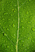 Foliage Originals - Leaf Dew Drop Number 12 by Steve Gadomski