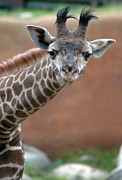 Young Giraffe Photos - Leaning In by Dan Holm