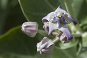 Host Prints - Lei Pua Kalaunu - White Crown flower - Calotropis gigantea - Asclepiadaceae Print by Sharon Mau