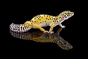Mark Johnson - Leopard Gecko