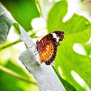 Vibrant Metal Prints - Leopard Lacewing butterfly Metal Print by Jane Rix