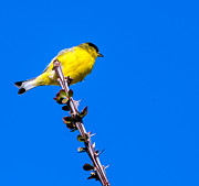 Backed Posters - Lesser Goldfinch Poster by Robert Bales