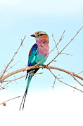 Bruce Colin - Lilac breasted roller