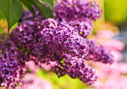Shrubs Prints - Lilacs Print by Elena Elisseeva