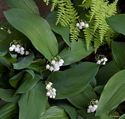Massachusetts Photos - Lily of the Valley by Michael Friedman