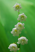 Lily Of The Valley Posters - Lily of the Valley-Return of Happiness Poster by Nichol Skaggs