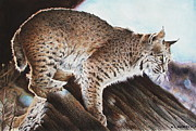 """bobcat "" Paintings - Linns Valley Bobcat by Ric Ricards"