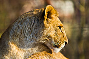 Staring Cat Photos - Lioness by Gert Lavsen