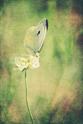 Insects Metal Prints - Little Butterfly Metal Print by Angela Doelling AD DESIGN Photo and PhotoArt
