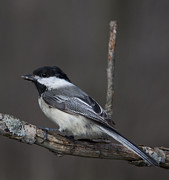 John Crothers - Little Chickadee 4