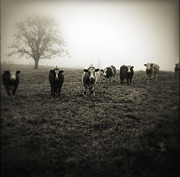 Foggy Framed Prints - Livestock Framed Print by Les Cunliffe