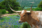 Texas Longhorns Photos - Longhorn Blue by Robert Anschutz