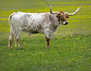 Longhorn Photos - Longhorn by David and Carol Kelly