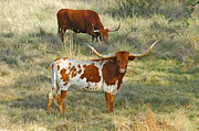 Texas Longhorns Framed Prints - Longhorn Duo Framed Print by Robert Anschutz