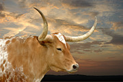 Texas Longhorns Photos - Longhorn Glory by Robert Anschutz