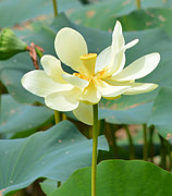 Ruth Housley Metal Prints - Lotus Blossom Metal Print by Ruth  Housley