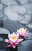 Tranquil Pond Framed Prints - Lotus blossoms Framed Print by Elena Elisseeva