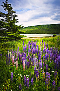 Cloudy Photo Prints - Lupin flowers in Newfoundland Print by Elena Elisseeva