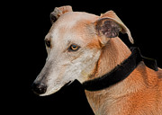 Sight Hound Photos - Lurcher by Linsey Williams