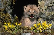Jeffrey Lepore - Lynx Kitten