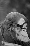 Rob Hans - Macaws Of Color B W 17