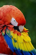 Rob Hans - Macaws Of Color27