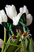 White Tulip Posters - Madagascar Butterfly Poster by Garry Gay