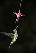 Thomas Chamberlin - Magnificent Hummingbird