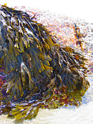 New England Ocean Drawings Prints - Maine Seaweed 6 Print by Christine Dion