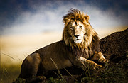 Awe Inspiring Prints - Majestic Male On Mound Print by Mike Gaudaur