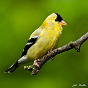 Jeff Goulden - Male American Goldfinch