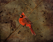 Richard Macquade - Male Cardinal