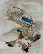 Ink Drawing Pastels Framed Prints - Mallard Pair Framed Print by C Steele