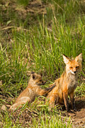Natural Focal Point Photography - Mama Fox and Kit