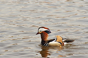 Coloured Plumage Prints - Mandarin Duck Print by Michal Boubin