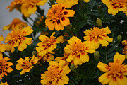 Autumn Photos Originals - Marigold Flowers by Ruth  Housley