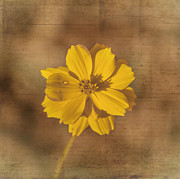 Judy Hall-Folde - Marigold