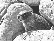 Pencil Drawing Photo Posters - Marmot Emerging From Den Poster by Frank Wilson