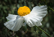 Michael Moriarty - Matilija White Poppy
