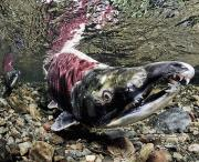 Spawning Prints - Mature Male Sockeye Salmon On Spawning Print by Thomas Kline