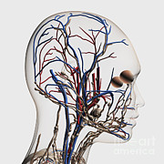 Lingual Artery Posters - Medical Illustration Of Head Arteries Poster by Stocktrek Images